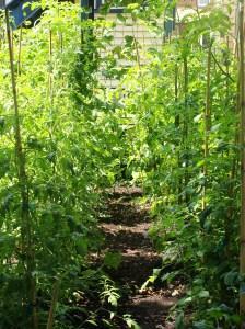 Our Tomato Garden